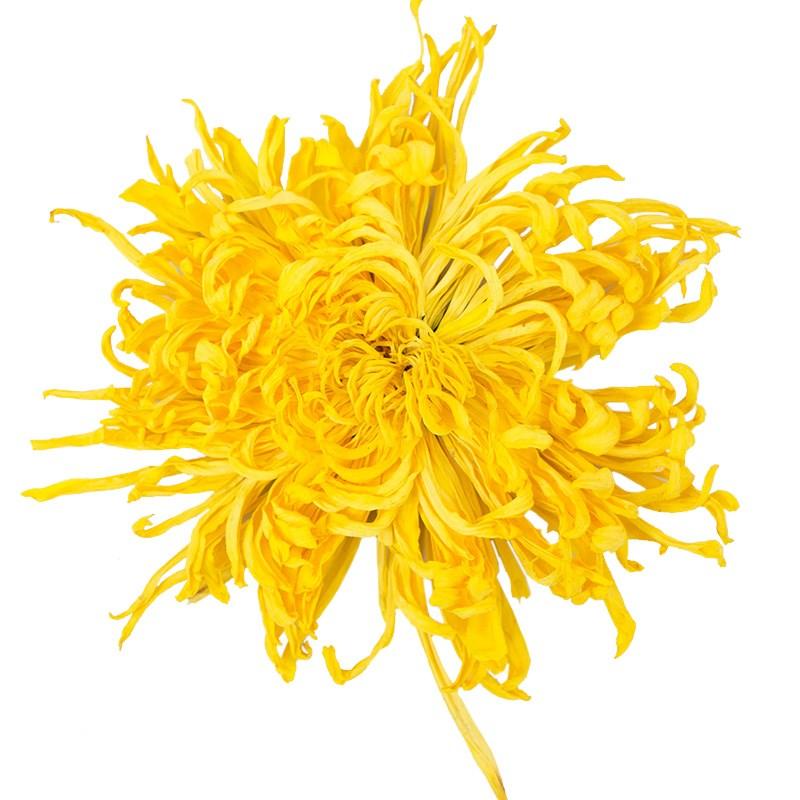 一朵一杯金丝皇菊50朵